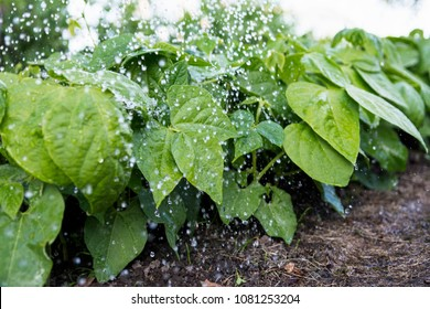 Bean plants  in the field and farmer  is watering it;   seedlings in the farmer's garden , agriculture, plant and life concept