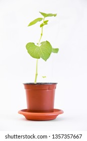 bean sprout in flower pot isolated on white background. Young bean sprig