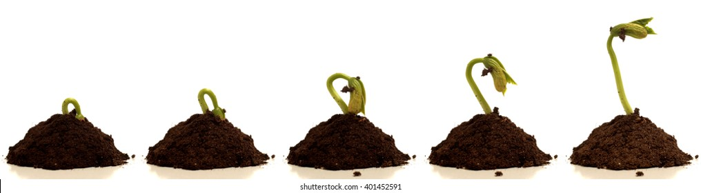 Bean sprout growing. Time lapse composite,
