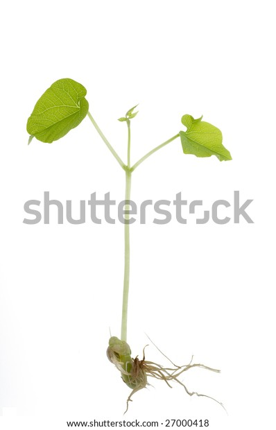 Bean sprout isolated over white background