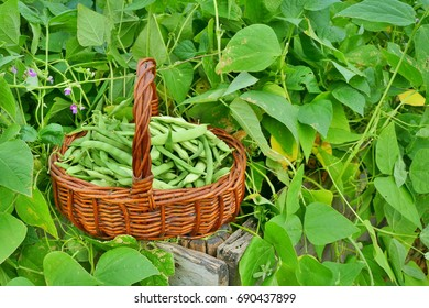 Beans in basket on raised garden bed