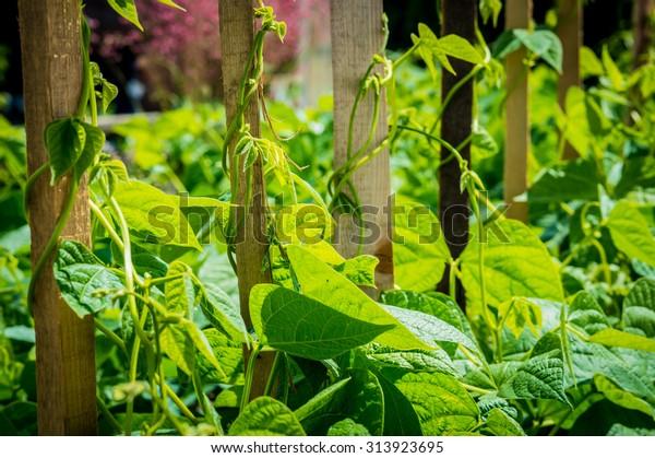 beans in the garden
