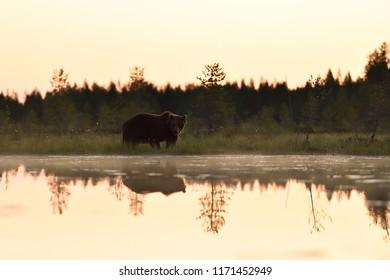 Bear after sunset in wild taiga scenery