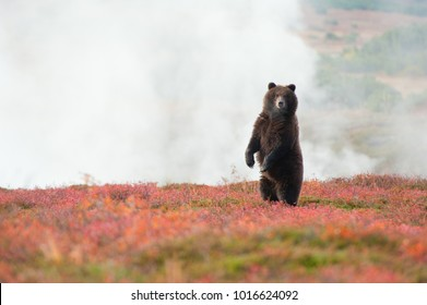 Bear against the background of geyser steam in caldera of volcano Uzon - Kronotsky nature reserve, Kamchatka, Russia