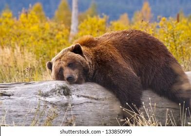 A Bear in Alaska laying down for a rest