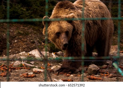 Bear behind the metal fence