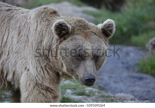 Bear beside a river looking into the camera.
