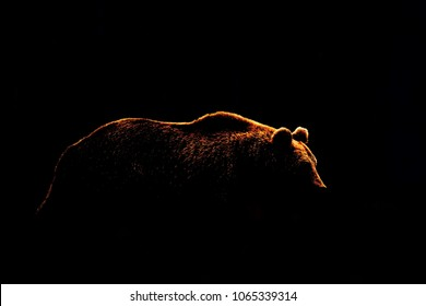 Bear body contour isolated on black background. Side view of brown bear.