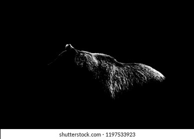 bear body contour isolated on black background