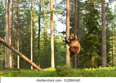 Bear climbing on a tree. Hugging a tree.