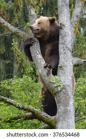bear is climbing on a tree in National Park Bavarian Wood in Germany. Captive.