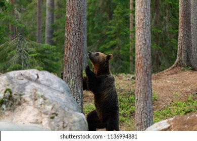 The bear climbs on tree