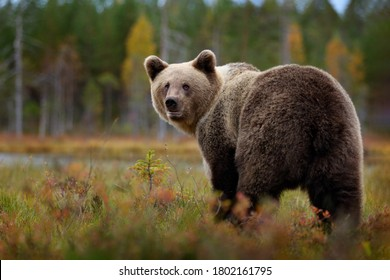 Bear - close up encounter in the nature. Brown bear in yellow forest. Autumn trees with animal. Beautiful brown bear walking around lake, fall colours. Wildlife scene from nature, Russia.