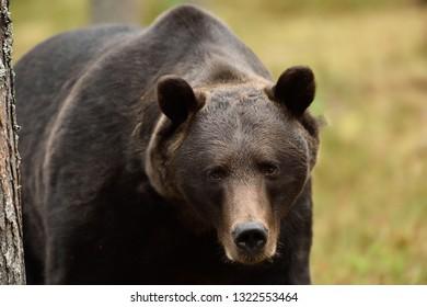bear close-up. brown bear portrait.