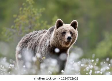 Bear in cotton grass at summer. Bear close up.