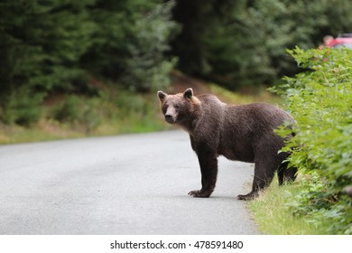 Bear is crossing road.