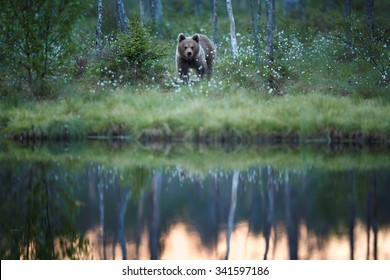 Bear cub in blossoming grass behind lake where water surface reflecting early morning sky