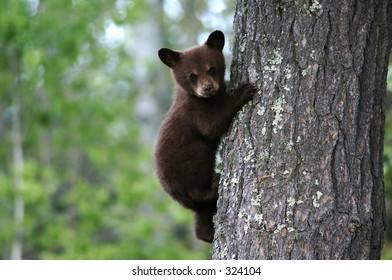 A bear cub clings to a tree