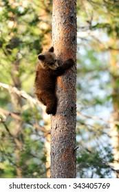 bear cub hugging a tree
