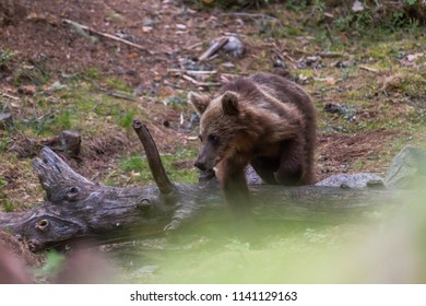 Bear cub looking for food