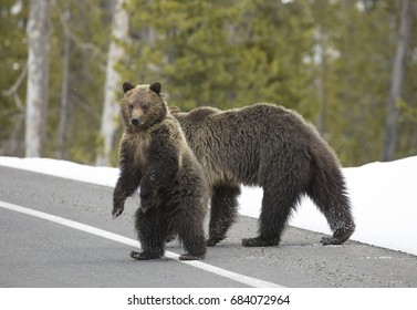 Bear cub and mother crossing road in Yellowstone