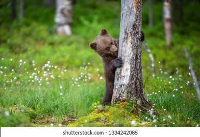 Bear cub up on its hind legs. Bear Cub of Brown bear  in the summer forest. Scientific name: Ursus Arctos Arctos. Natural green Background.