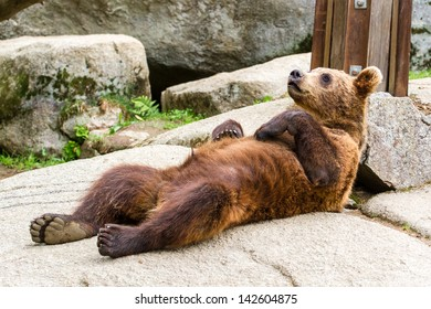 Bear cub relaxing and sleeping on the back
