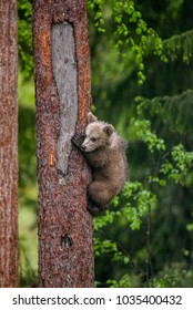 Bear cubs on a tree in the forest. Summer. Finland.