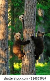 Bear cubs on a tree. Three bears.