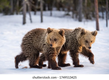 Bear cubs in winter forest. Natural habitat. Brown bear, Scientific name: Ursus Arctos Arctos.