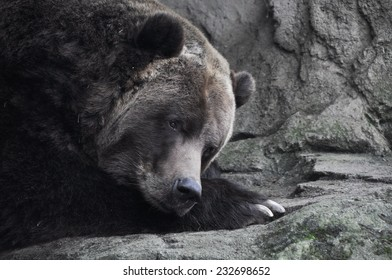 Bear deep in thought