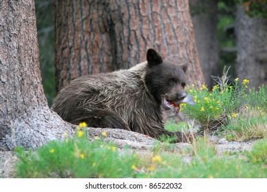 bear eating fish