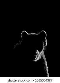 Bear face contour in black and white. Bear face isolated on black background.