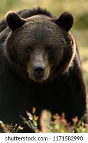 Bear face. Dark bear portrait.
