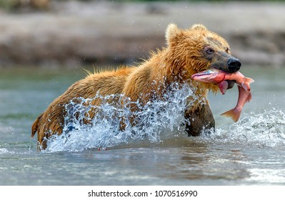 Bear fishing, Kamchatka, Russia.August: Photo taken on the Kurile Lake The Kurile Lake is the largest riprodution red salmon site in the EurAsian continent.