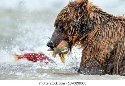 The bear fishing for salmon - Kamchatka, Russia. Kurile Lake.