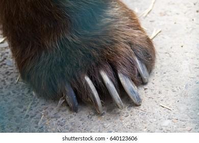 Bear foot closeup