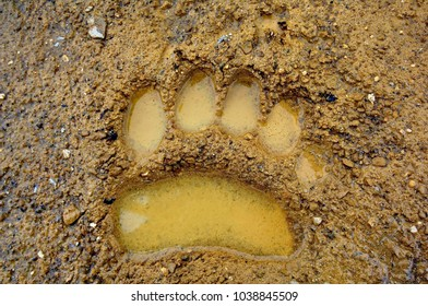 Bear footprints. Brown bear (Lat. Ursus arctos) is a predatory mammal of the bear family. Valley of Geysers. Kronotsky State Nature Reserve. Kamchatka, Russia.