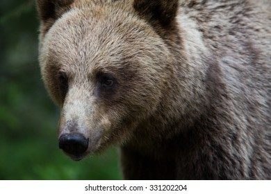 Bear in a forest closeup portrait