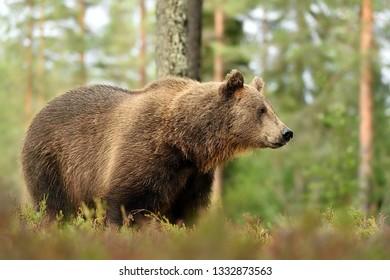 Bear in forest. European brown bear in forest.