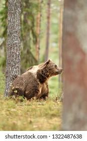 bear in forest scenery