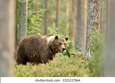 bear in forest scenery at summer