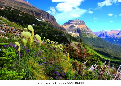 Bear Grass, Glacier National Park Montana