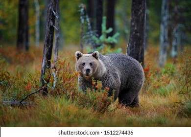 Bear hidden in yellow forest. Autumn trees with bear, face portrait. Beautiful brown bear walking around lake, fall colours, Romania wildlife.
