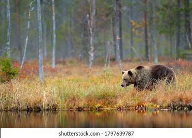 Bear hidden in yellow forest. Autumn trees with bear. Beautiful brown bear walking around lake, fall colours. Big danger animal in habitat. Wildlife scene from nature, Russia.