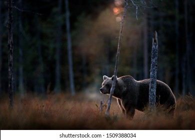 Bear hidden in yellow forest, cold sunset in taiga. Autumn trees with bear, dark forest. Beautiful animal walking around lake, fall colours, vapour from muzzle nose.