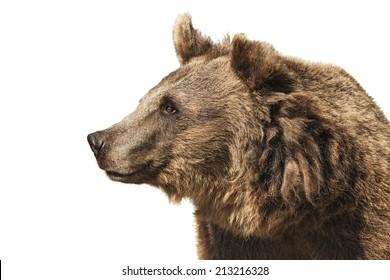 Bear isolated on white background