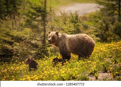 Bear in Jasper National Park in Canada. Alberta, Canada.