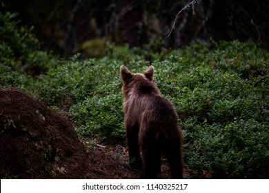 Bear is looking at forest