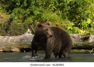 Bear Looking for Salmon, Kodiak, Alaska
